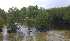 Wisata Alam Mangrove